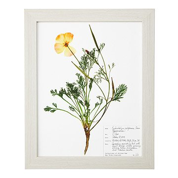 Poppy Pressed Botanical Print