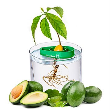 Avocado Tree Starter Kit - Set of 3